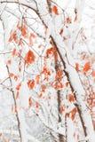 La neige a couvert la forêt d'érable Images stock