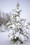 La neige a couvert l'arbre de pin Images stock