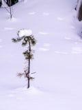 La neige a couvert l'arbre de pin Images libres de droits