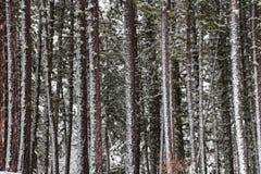 La neige a couvert la forêt de pin Image stock