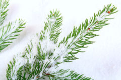 La neige a couvert le branchement de pin Photographie stock