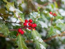 La neige a couvert le houx et les baies rouges Colombie-Britannique, Canada photo libre de droits