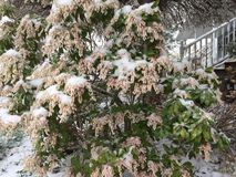 La neige a couvert le printemps de buisson Photo stock