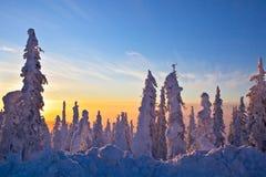 La neige a couvert le sapin noir au lever de soleil Image stock