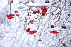 La neige a couvert le viburnum images libres de droits