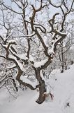 La neige a couvert le vieil arbre Image libre de droits