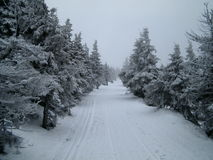 La neige a couvert les arbres impeccables Photos stock