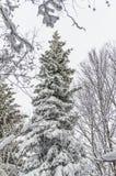 La neige a couvert les arbres impeccables Image stock