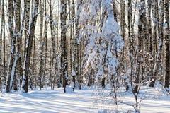 La neige a couvert les arbres sans feuilles dans la forêt d'hiver Photographie stock libre de droits