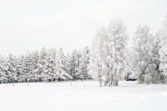 La neige a couvert les bouleaux blancs et les pins toujours d'actualité images stock