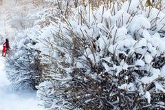 La neige a couvert les buissons, fond des arbres pour une double exposition, beaucoup de branches, branches dans la neige, la nei photo stock