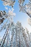 La neige d'hiver a couvert des arbres contre le ciel bleu Photographie stock