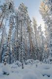 La neige d'hiver a couvert des arbres contre le ciel bleu Image libre de droits