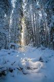 La neige d'hiver a couvert des arbres l'Estonie Image libre de droits