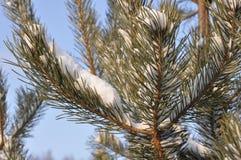 La neige de Moscou se trouve sur un pin photo libre de droits