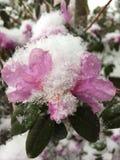La neige de printemps a couvert azalea-1 Photos stock