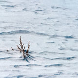 La neige est herbe sèche. Image stock