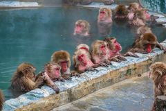 La neige monkeys la détente dans une piscine de source thermale Images libres de droits