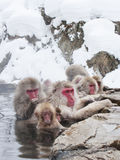 La neige monkeys dans Hot Springs de Nagano, Japon Images libres de droits