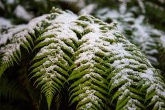 La neige s'est rassemblée sur les feuilles d'un arbre de fougère au mur de Hassans dans L photos libres de droits