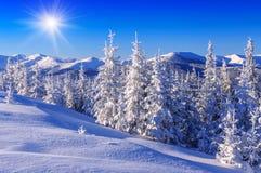 La neige s'est recroquevillée des sapins Image stock