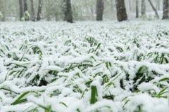 La neige se trouve sur l'herbe verte Image stock