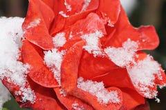 La neige se trouve sur le macro extérieur de rose L'hiver tôt Foyer sélectif Photographie stock