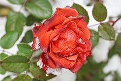 La neige se trouve sur le plan rapproché extérieur de rose congelée L'hiver tôt Photos stock