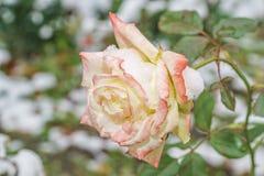 La neige se trouve sur le plan rapproché extérieur de rose congelée L'hiver tôt photos libres de droits