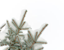 La neige se trouve sur une branche d'un sapin bleu Image stock