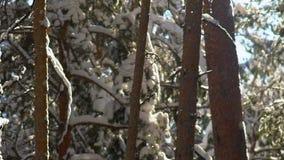 La neige sur les branchements L'hiver sibérien Belle forêt de l'hiver clips vidéos