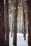 La neige vont vers le bas de la branche dans la forêt Photo libre de droits