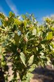 La nespola chiusa non matura di Brown fruttifica sul ramo di albero fotografia stock libera da diritti
