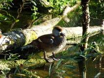 La netta rufina della fistione turco o il dado Kolbenente, Abenteurland Walter Zoo immagini stock