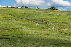 Work in Vineyards La Neuville-Aux-Larris Royalty Free Stock Photography