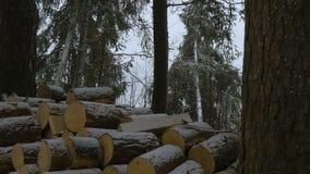 La nevada del invierno en las ramas del pino del bosque del pino dobla debajo de la nieve que cae Fauna del invierno El mundo mar almacen de video