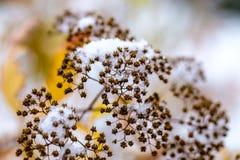 La neve bianca è caduto in autunno tardo Cespugli coperti di neve Fotografia Stock