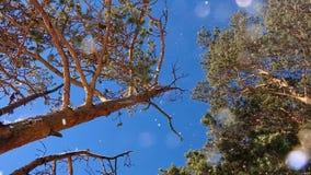 La neve cade da un pino nella macchina fotografica stock footage
