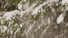 La neve cade dal ramo di albero dell'abete in una foresta archivi video