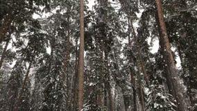 La neve cade nell'abetaia dell'inverno archivi video