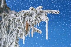 La neve cade sul ramo dell'abete con il cono Immagini Stock