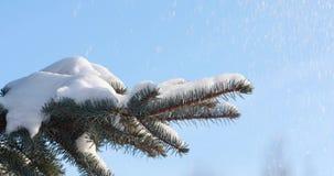 La neve cade sulle cadute attillate della neve da un ramo del pino nel movimento lento della foresta Un ramo dell'abete rosso un  stock footage