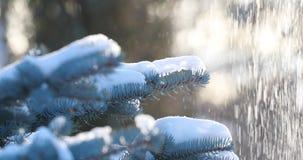 La neve cade sulle cadute attillate della neve da un ramo del pino nel movimento lento della foresta Un ramo dell'abete rosso un  archivi video
