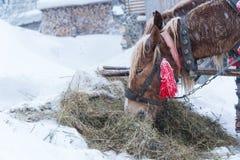 La neve del cavallo dell'inverno due cavalli mangia il fieno immagine stock