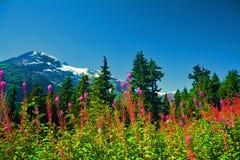 La neve delle montagne dell'estate del Canada fiorisce gli alberi rosa Fotografia Stock Libera da Diritti