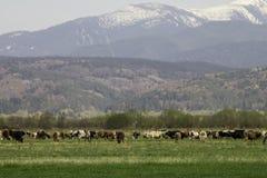 La neve ha ricoperto le montagne ed il prato verde con le mucche immagini stock