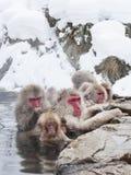 La neve monkeys in sorgenti di acqua calda di Nagano, Giappone Immagini Stock Libere da Diritti
