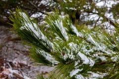 La neve si è raccolta sugli aghi del pino di un albero nel nuovo sud di Oberon fotografia stock