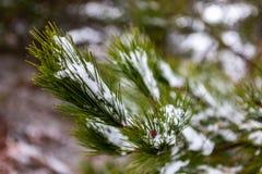 La neve si è raccolta sugli aghi del pino di un albero nel nuovo sud di Oberon immagine stock libera da diritti