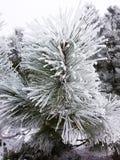 La neve sui pini Immagini Stock Libere da Diritti